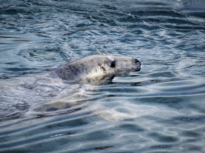 seal pleased with itself after ramming boat - Arthur Jenkins